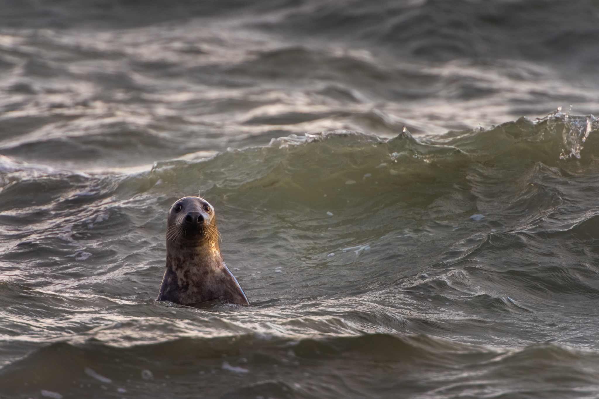 wildlife-photography-ireland-seal-watching